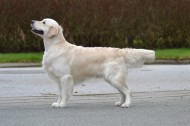 Enzo - John Downie de ria vela, Golden Retriever, hanhund, 289