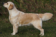 Golden retriever hvalpe, 290